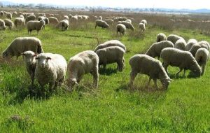 ovce-pasha-1917