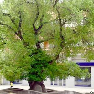 Старият бряст в Сливен